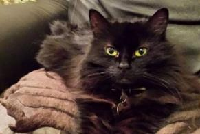 Disappearance alert Cat  Female , 14 years Ahuntsic-Cartierville Canada